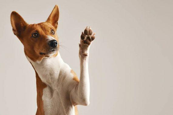 Argent Colloidal pour chien